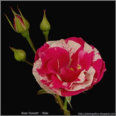 Rosa 'Concert' - Róża 'Concert'