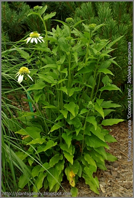 Echinacea purpurea 'Coconut Lime' - Jeżówka purpurowa 'Coconut Lime'