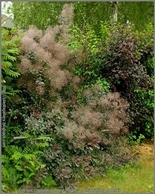 Cotinus coggygria 'Royal Purple' - Perukowiec podolski