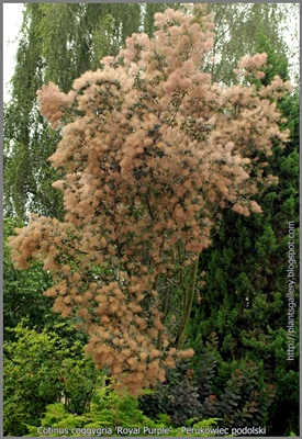 Cotinus coggygria 'Royal Purple' - Perukowiec podolski