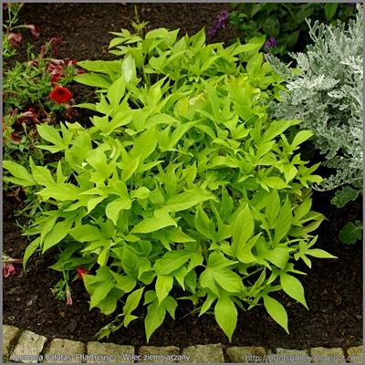 Ipomoea batatas 'Chartreuse' - Wilec ziemniaczany 'Chartreuse'