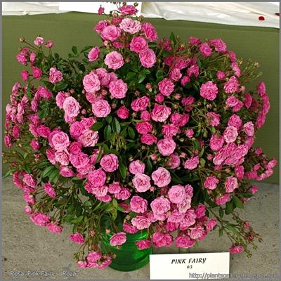 Rosa 'Pink Fairy' - Róża 'Pink Fairy'