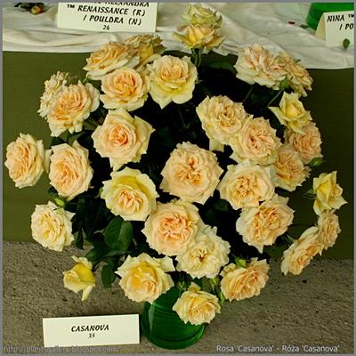 Rosa 'Casanova' - Róża 'Casanova'
