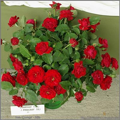 Rosa 'Courage' - Róża 'Courage'