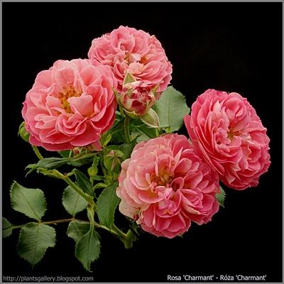Rosa 'Charmant' - Róża 'Charmant'