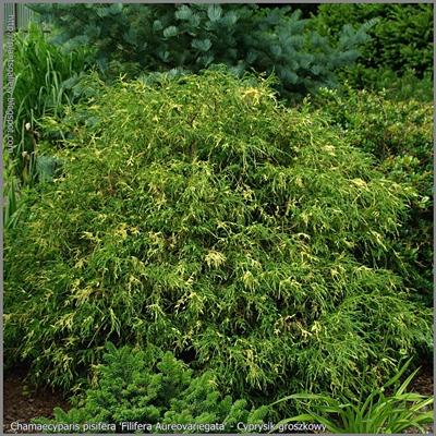 Chamaecyparis pisifera 'Filifera Aureovariegata' - Cyprysik groszkowy 'Filifera Aureovariegata'
