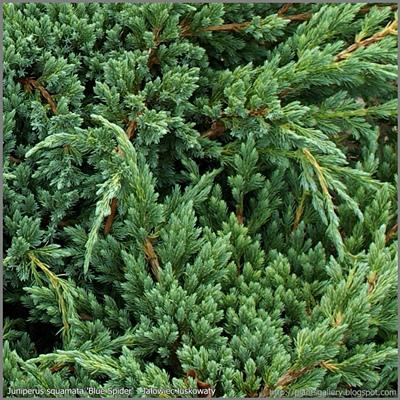 Juniperus squamata 'Blue Spider' - Jałowiec łuskowaty 'Blue Spider'