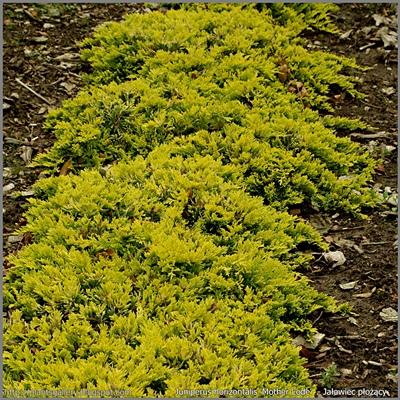 Juniperus horizontalis 'Mother Lode'  - Jałowiec płożący 'Mother Lode'