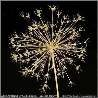 Allium Cristophii (syn. albopilosum) - Czosnek białawy