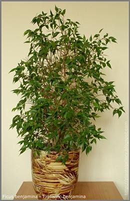 Ficus benjamina - Figowiec Benjamina