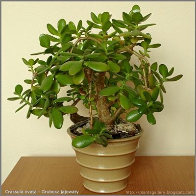 Crassula ovata - Grubosz jajowaty, drzewko szczęścia
