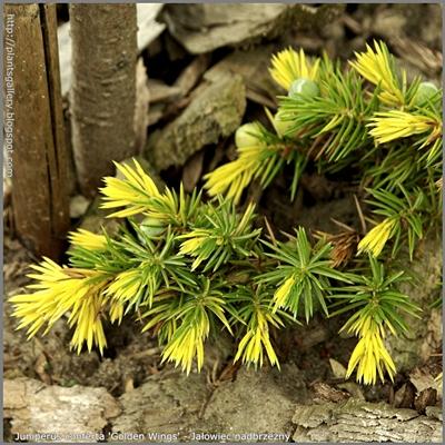 Juniperus conferta 'Golden Wings' - Jałowiec nadbrzeżny 'Golden Wings'