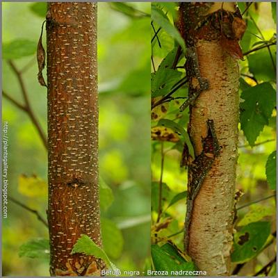 Betula nigra - Brzoza nadrzeczna