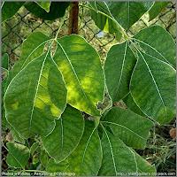Ptelea trifoliata - Parczelina trójlistkowa