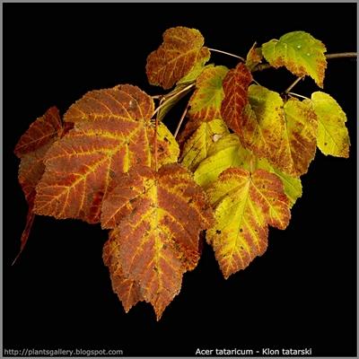 Acer tataricum autumn leaf  - Klon tatarski jesienne liście