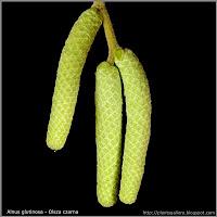 Alnus glutinosa male flower buds- Olsza czarna pąki kwiatowe męskie