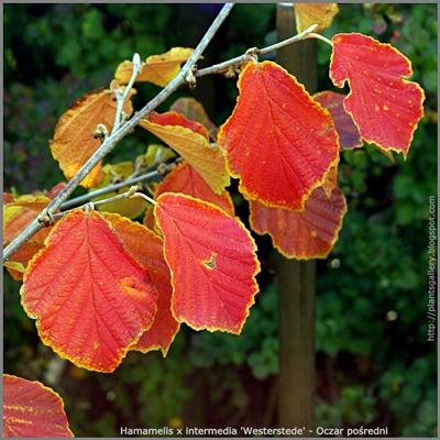 Hamamelis x intermedia 'Westerstede' autumn leaf - Oczar pośredni 'Westerstede' liście jesienią