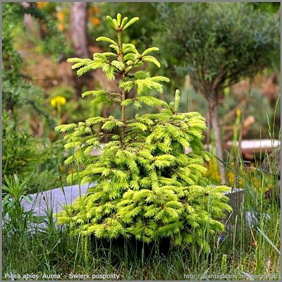 Picea abies 'Aurea' - Świerk pospolity 'Aurea'