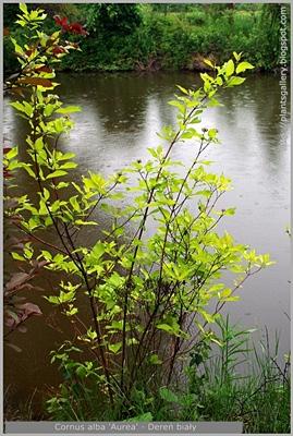Cornus alba 'Aurea' - Dereń biały 'Aurea' pokrój wiosną