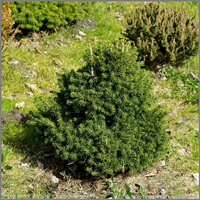 Picea abies 'Tompa' - Świerk pospolity 'Tompa'