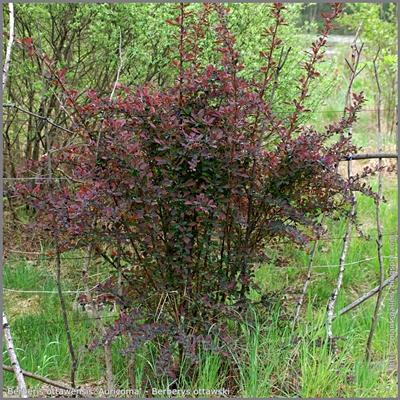 Berberis ottawensis 'Auricoma' - Berberys ottawski  'Auricoma' pokrój młodej rośliny wiosną