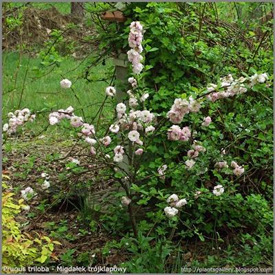 Prunus triloba - Migdałek trójklapowy pokrój młodej rośliny