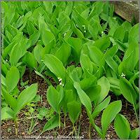 Convallaria majalis - Konwalia majowa wiosną