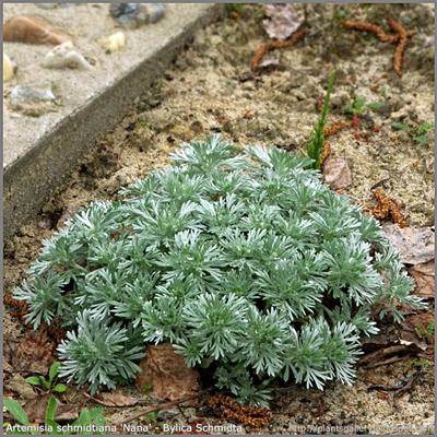 Artemisia schmidtiana 'Nana' - Bylica Schmidta