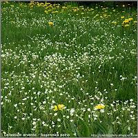 Cerastium arvense - Rogownica polna