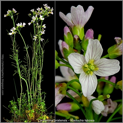 Cardamine pratensis - Rzeżucha łąkowa