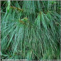 Pinus wallichiana - Sosna himalajska