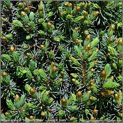 Picea glauca 'Sanders Blue' - Świerk biały 'Sanders Blue'
