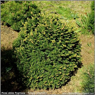Picea abies Pygmaea - Świerk pospolity 'Pygmaea'