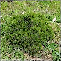 Pinus leucodermis 'Schmidtii' - Sosna bośniacka 'Schmidtii'