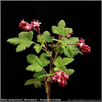Ribes sanguineum 'Atrorubens' flower - Porzeczka krwista 'Atrorubens' kwiaty