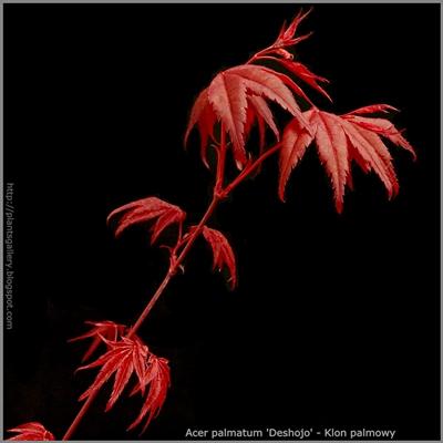 Acer palmatum 'Deshojo' - Klon palmowy 'Deshojo'