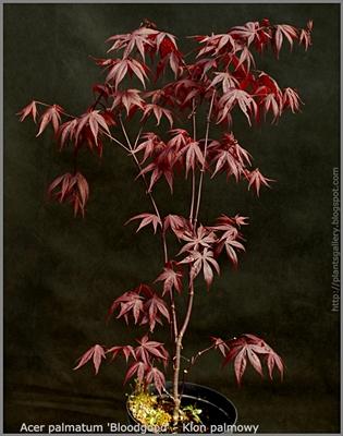 Acer palmatum 'Bloodgood' - Klon palmowy 'Bloodgood'
