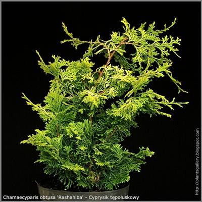 Chamaecyparis obtusa 'Rashahiba' - Cyprysik tępołuskowy 'Rashahiba'