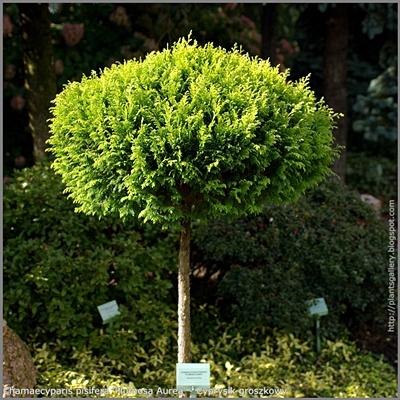 Chamaecyparis pisifera 'Plumosa Aurea' - Cyprysik groszkowy 'Plumosa Aurea'