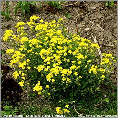 Alyssum saxatile - Smagliczka skalna, Smagliczka Arduina