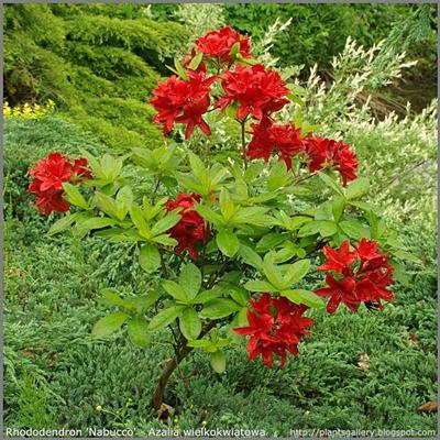 Rhododendron 'Nabucco' - Azalia wielkokwiatowa 'Nabucco'