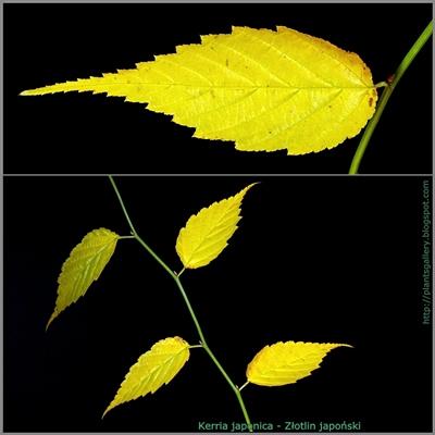 Kerria japonica - Złotlin japoński