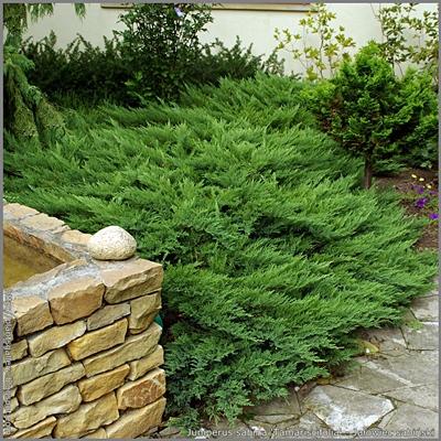 Juniperus sabina 'Tamariscifolia' - Jałowiec sabiński