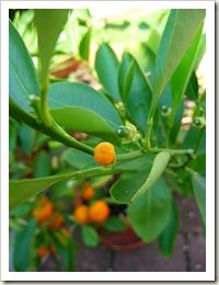 450px-Citrus_reticulata_Fruchtansatz