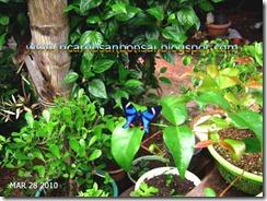 Borboleta Azul_ricardosanbonsai.blogspot.com
