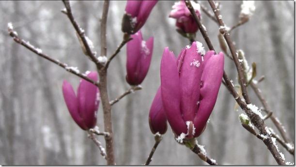 32611-magnolia