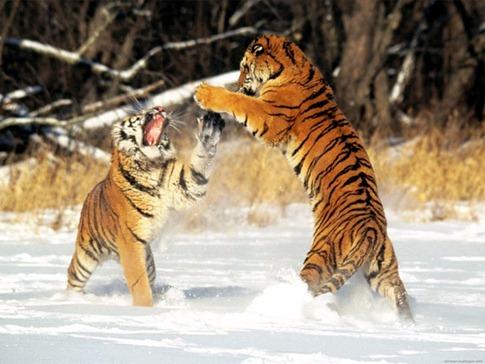 luta entre animais desbaratinando (27)