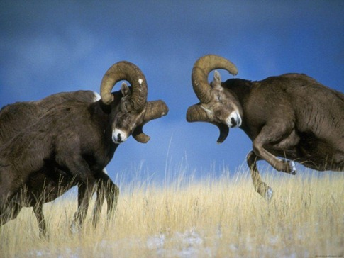 luta entre animais desbaratinando (30)