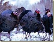 turkies