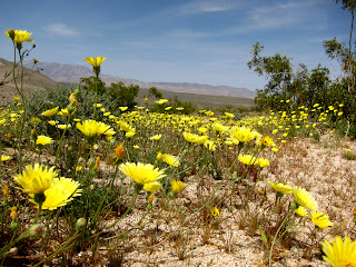 Desert Dandelions on Egg Mountain in Anza Borrego